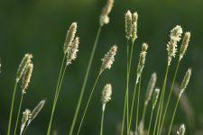 Phleum pratense Timothy grass in spring